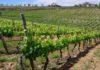 На Кубани увеличат закладку виноградников