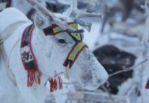 Оленеводческое хозяйство Коми планирует поставку оленины в Финляндию