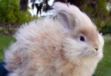 Особенности кормления пуховых кроликов