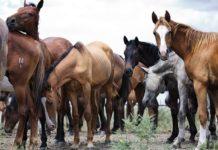 Племенная работа с лошадьми