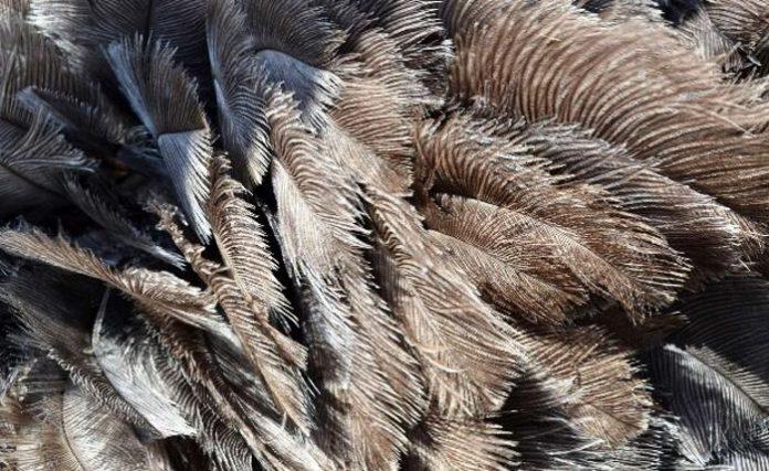 Сбор пера страуса