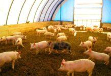 В Брянской области на 14 суток закрыли свиноводческое предприятие