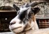 Болезни органов дыхания коз