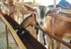 Как правильно ухаживать за козами