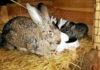 Как выбрать крольчиху для воспроизводства