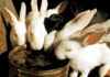 Какова потребность кроликов в воде?