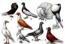 Классификация и оценка голубей