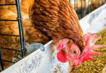 Кормление кур яичных пород