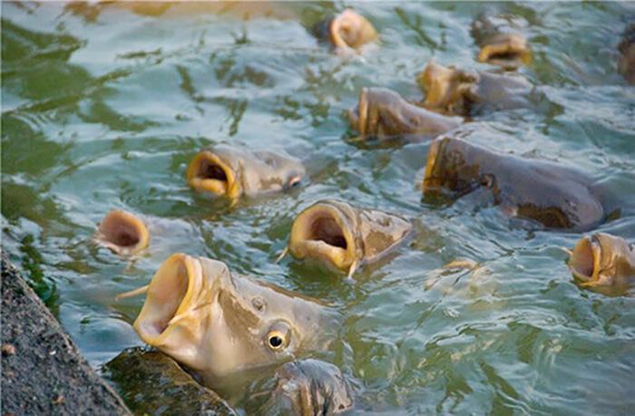 Кормление рыб в прудах