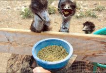 Кормление страусят