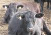 «Мираторг» на треть увеличил производство говядины