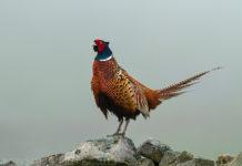 Незаразные болезни фазанов