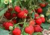 Новосибирское правительство поддержит производителей садовой земляники