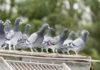Оспа голубей