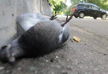 Отравления голубей