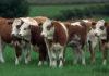 Породы коров двойной продуктивности