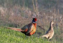 Оценка потомства фазанов