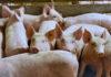 Россия наращивает объемы производства свинины