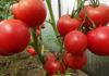 Российские аграрии в 2018 году вырастили больше тепличных томатов и огурцов по сравнению с предыдущими годами