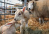 Случка и ягнение овец