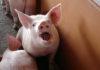 Способы осеменения свиней