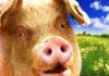 Техника разведения свиноматок и хряков
