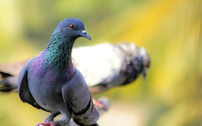 Трихомоноз голубей