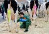 Уход за выменем коровы. Способы доения