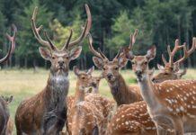 В Нижегородской области занялись разведением благородных оленей как сельхозживотных