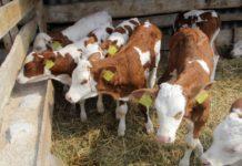 В Псковской области открылась ферма на сто голов КРС