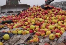 В Смоленской области утилизировано почти 20 тонн яблок