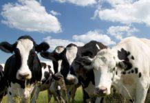 В сельхозорганизациях Коми увеличилось поголовье скота