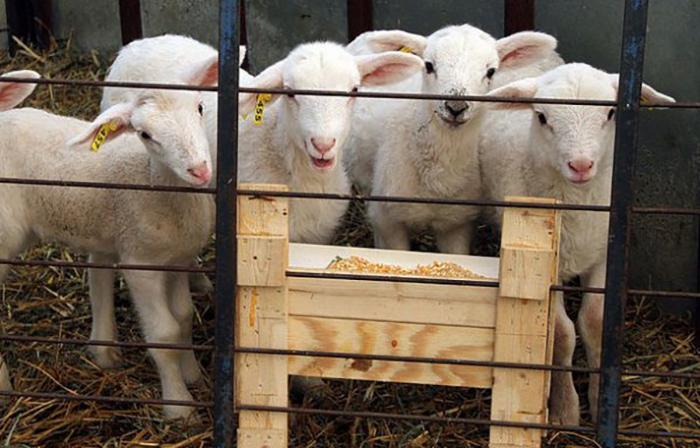 Выбор овец для разведения