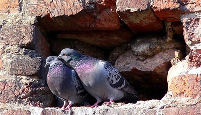 Анемия, раны и переломы у голубей