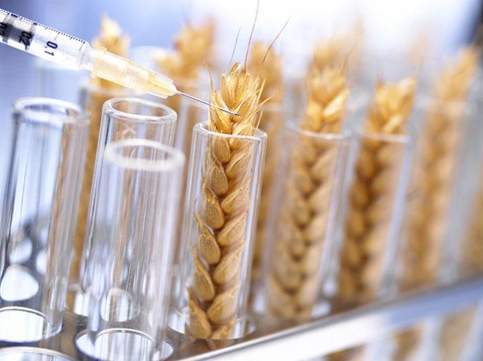 Аргентина готова предъявить миру ГМ-пшеницу. Обрадуется ли мир?