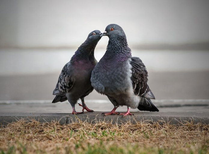 Беседы о голубях