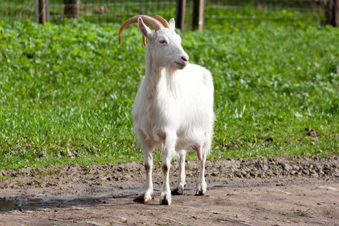 Болезни органов пищеварения у коз