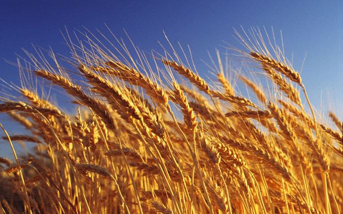 Цены на пшеницу пошли вниз