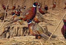 Фазановодство как особая отрасль птицеводства