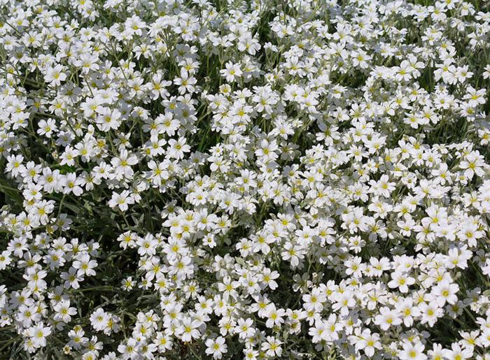 Ясколка Биберштейна (Cerastium biebersteinii), или ясколка серебристая