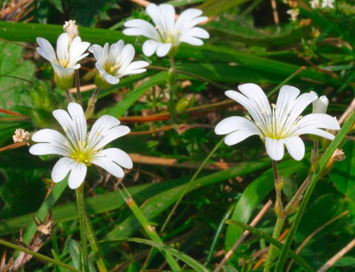 Ясколка альпийская (Cerastium alpinum)