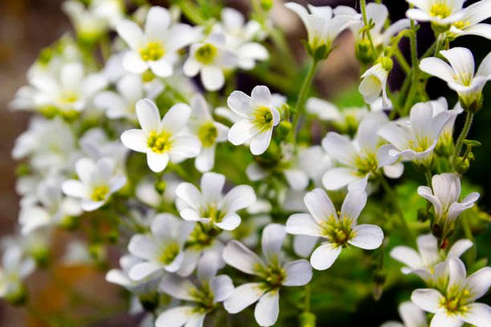 Ясколка уральская (Cerastium uralense)