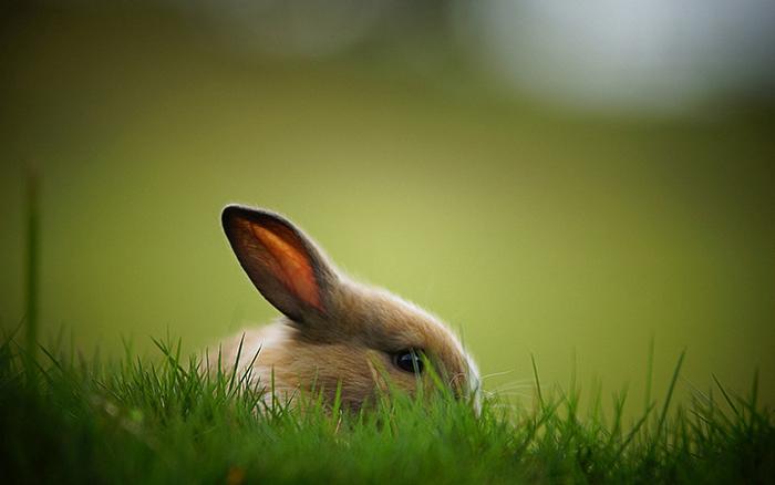 Является ли кролик скороспелым животным?