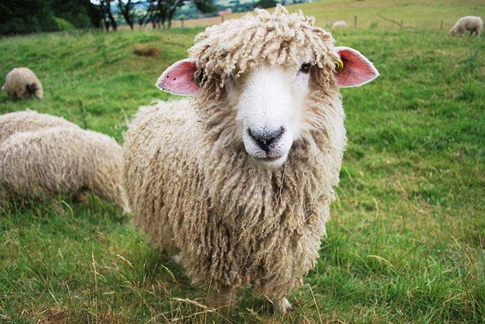 Эффективность разведения овец мясошерстного направления