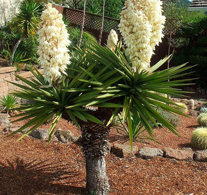 Юкка Трекуля (Yucca treculeana)