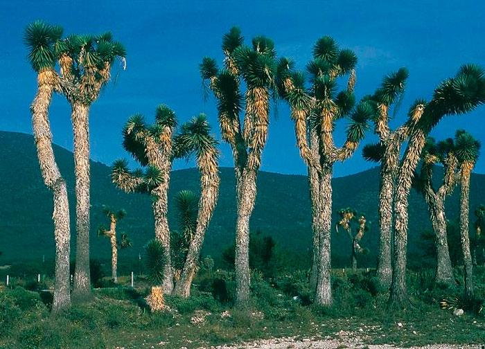 Юкка южная (Yucca australis)