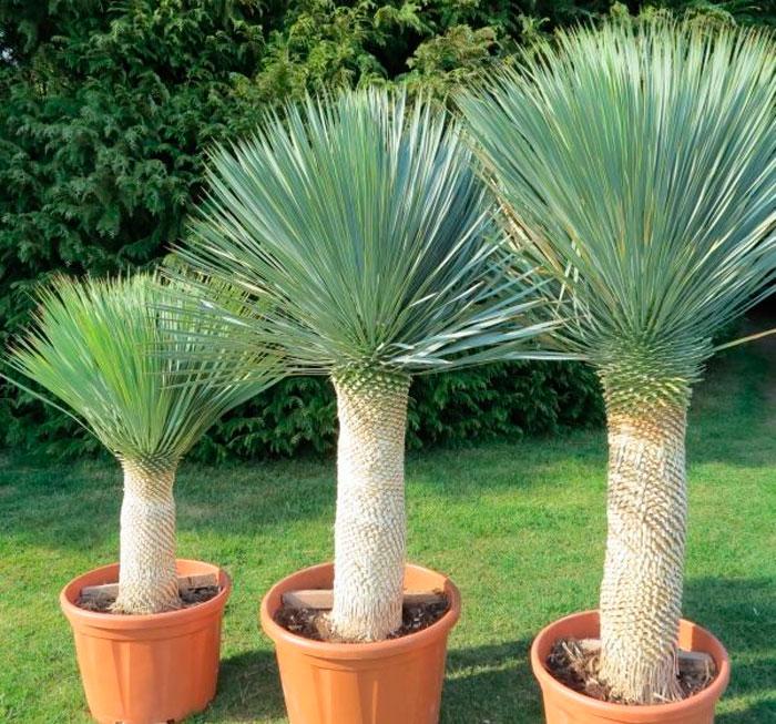 Юкка клювовидная (Yucca rostrata)