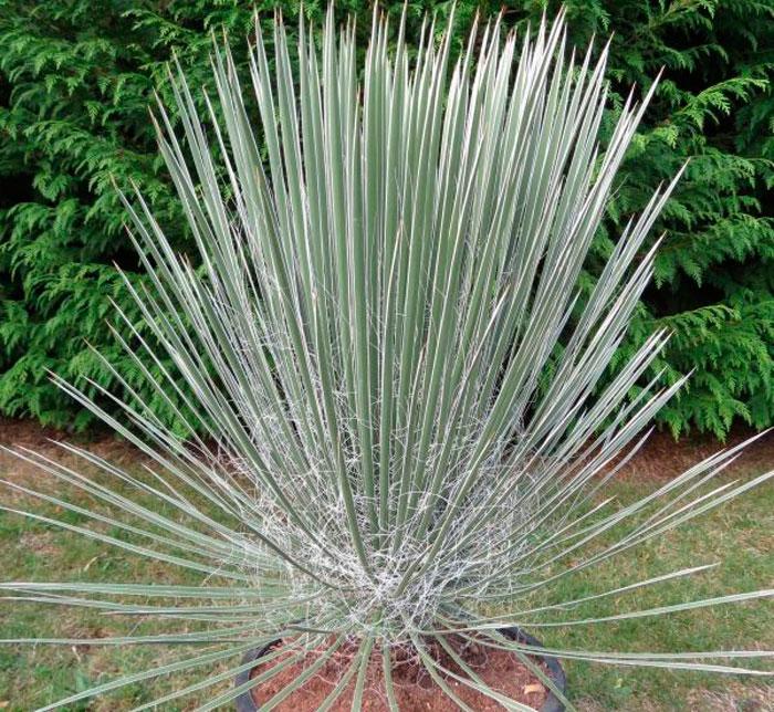 Юкка лучистая (Yucca radiosa)