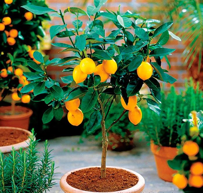Как сформировать крону комнатного лимона
