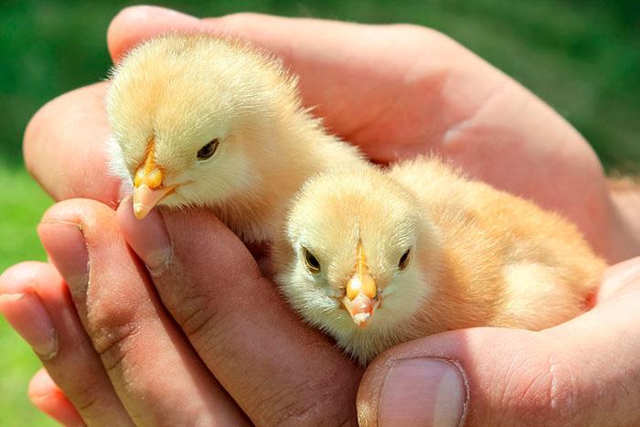 Контроль за выращиванием цыплят и их оценка по экстерьеру